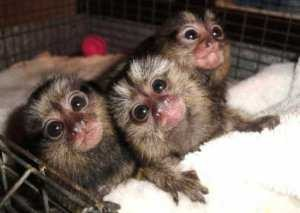 marmoset monkeys2